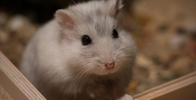 grote hamsterkooi